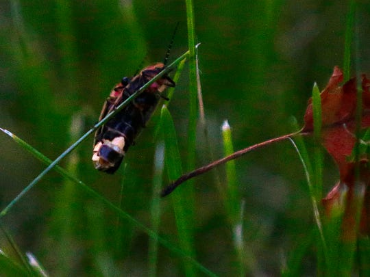 A couple of fireflies hang together on a blade of grass.