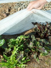Beets grow at Bryce and Shelly Richard's farm located