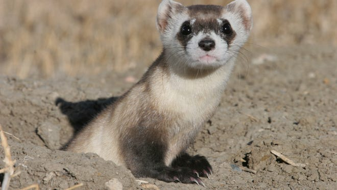The black-footed ferret Romano died at the end of February at the Abilene Zoo, the oldest black-footed ferret in human care.