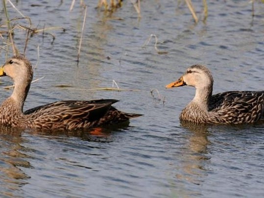 Mottled Ducks 2 jpg