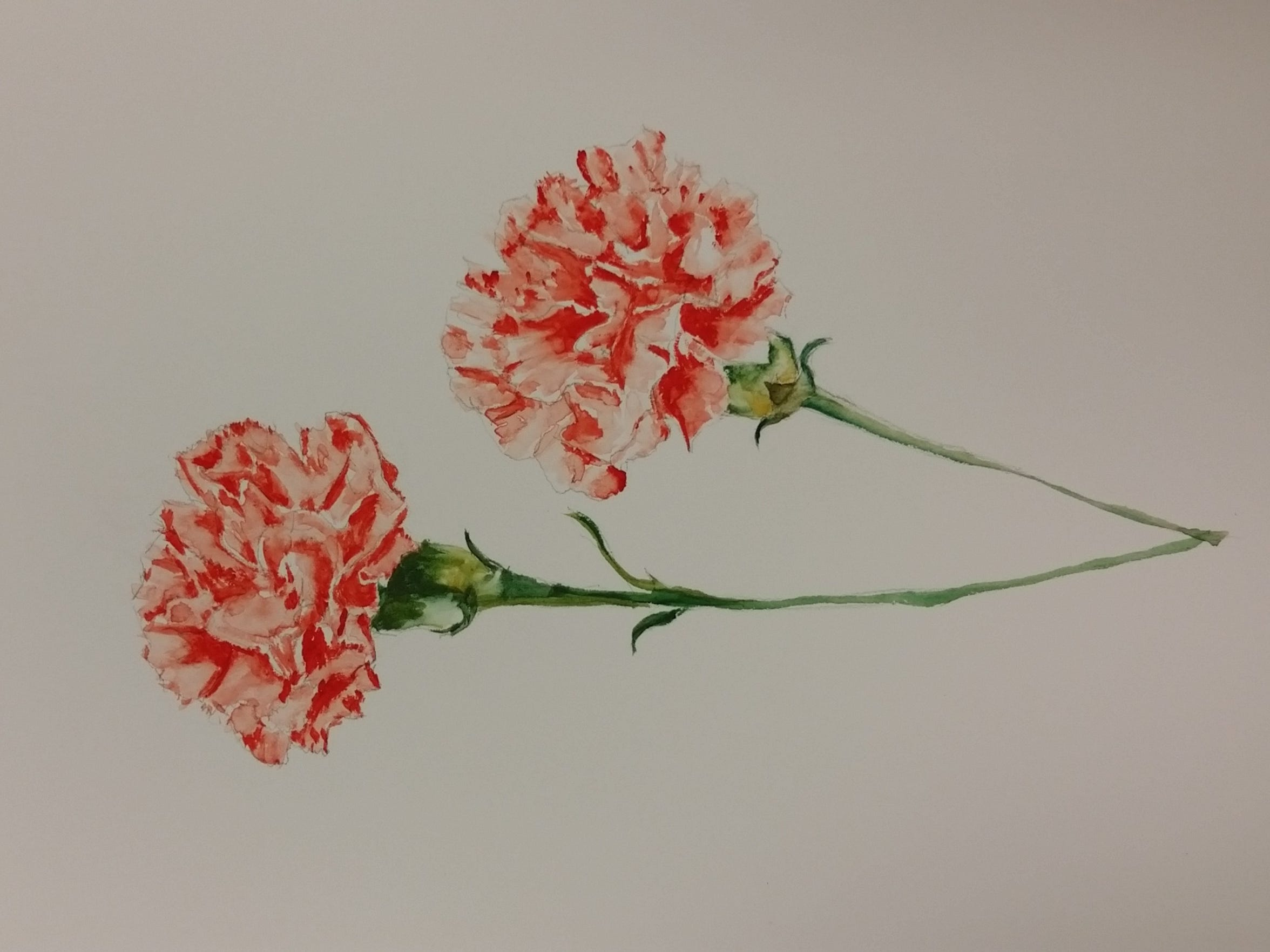 January's birthday flower is the carnation, which blooms in a variety of colors, each holding its own meaing. Pink carnations are said to be associated with Capricorns born in this month, symbolizing distinction, fascination and pure love.