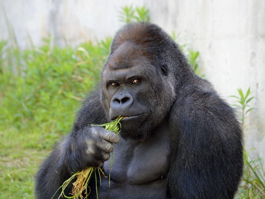 A male gorilla eats in his enclosure at the Higashiyama