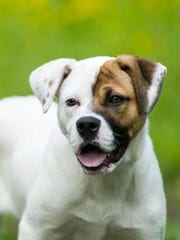 Janet is a cute, cuddly 6-month-old American bulldog mix who would be great in any home.