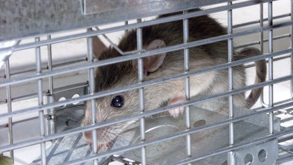 This photo from 2002 shows a roof rat that was trapped