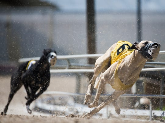 Chuck Connors, from Frenettte Kennel, makes the fourth turn during the first greyhound race on Friday, April 7, 2017, at the Naples-Fort Myers Track and Entertainment Center in Bonita Springs.