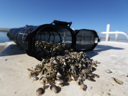 Oyster spat, or young seedlings, are poured out for inspection from the Panacea Co-Op Corporation farm. According to owner Olin, a 1.5 acre area can produce up to one million fully grown oysters in a six month period.