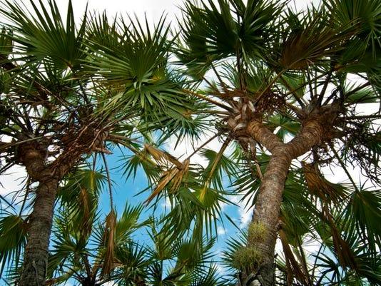 1 Gingerbread Palm.jpg