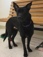 Pup is a 1-year-old lab mix who was surrendered to