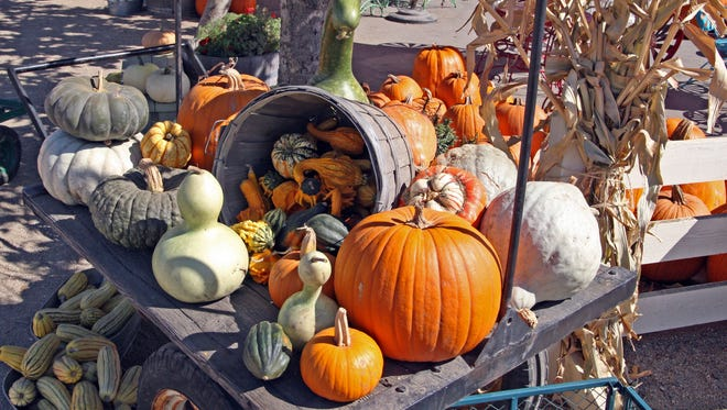 Assorted pumpkins, squash and gourds on display at The Farm, Salinas