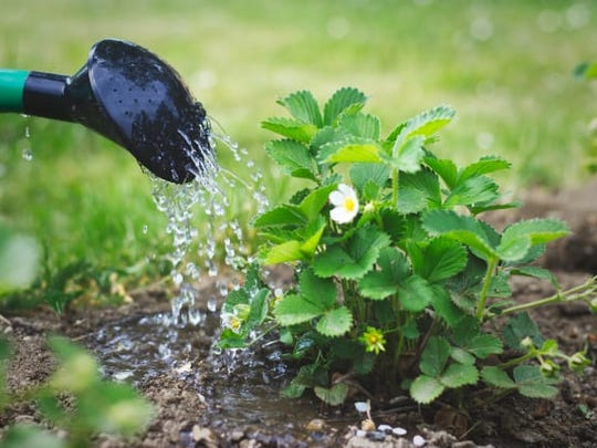 Water the soil before and after you have added fertilizer around your plants.