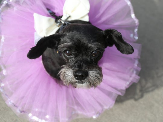 Herky, a miniature Schnauzer, finished runner up in the Clive Jaycees' dog costume contest May 9 at Campbell Park in Clive. There was confusion recently over the group's charitable status, but it was determined that donations are not tax deductible.