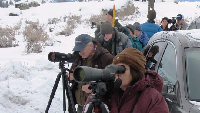 In a Monday, Jan. 12, 2015 photo, wolf watchers line the side of the road near Tower Junction, Mont., to watch the nearby Junction Butte and Prospect Peak wolf packs interact. It was 1995 when the first eight wolves live-trapped in Canada were placed inside fenced enclosures in Yellowstone to acclimate them to the area in hopes they would not immediately bolt back to their homeland. Twenty years later, about 130 wolves in 11 packs inhabit Yellowstone. (AP Photo/The Billings Gazette, Brett French)