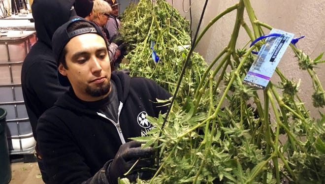 In this Feb. 27, 2018, photo, Anthony Uribes processes a marijuana plant with an attached tracking label at Avitas marijuana production facility in Salem, Ore. The cannabis tracking system used by Avitas, a marijuana company with a production facility in Salem, is the backbone of Oregon's regulatory system to ensure businesses with marijuana licenses obey the rules and don't divert their product into the black market.