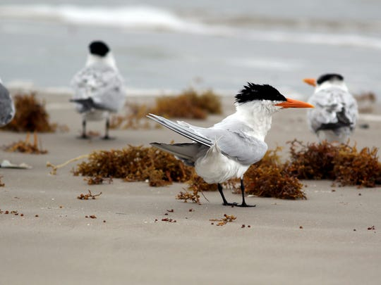 Astute surf anglers pay attention to the behavior of shorebirds when trying to locate fish.
