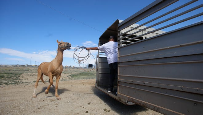 Darty Russell attempts to get Hannah, a Tennessee Walker horse into a trailer on Tuesday at Navajo Technical University Veterinary Clinic in Crownpoint.