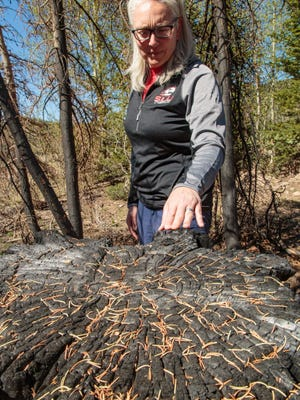 Dr. Jacqualine Grant, associate professor of biology at SUU surveys the Brian Head Fire devastation.