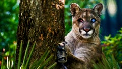 Beloved blind Florida panther Uno died 'unexpectedly' Sunday at Naples Zoo