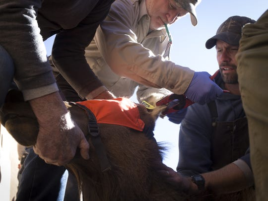 Randy Kelley (center), the West Virginia elk project leader, tags the ear of an elk at the processing area at the Raymond Wildlife Area. The elk were collared, tagged and inoculated before being released into a holding pen.