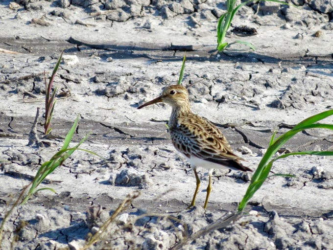 This pectoral sandpiper was photographed along Chapman