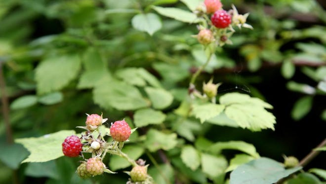 Wild raspberries are a real treat to find, says Benson, who started the Midwest Wild Edibles & Foragers Society.