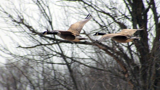 """Geese along """"swamp road"""" in Greenville on April 19, 2014."""