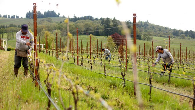 Gabriel Sanchez, from left, 48, Rogelio Castro, 46, and Eugenia Lechuga, 34, trim back extra canes on vines at Zenith Vineyards northwest of Salem on Wednesday, May 3, 2017.