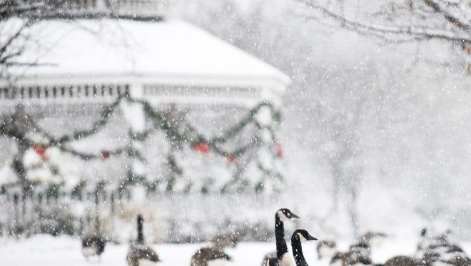 Geese graze during the snowfall at Acquackanock Bridge Liberty Crossing Park in Wallington. (Anne-Marie Caruso/@annemariecaruso)
