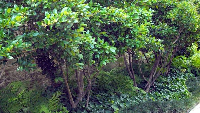 "The plant exans know as Japanese ligustrum, or Japanese privet, is called ""waxleaf."""
