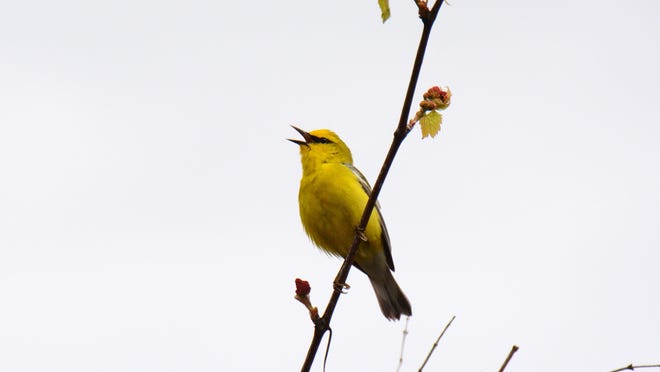 Blue-winged warblers have been spotted at Peach Hill off Salt Point Turnpike in Poughkeepsie.