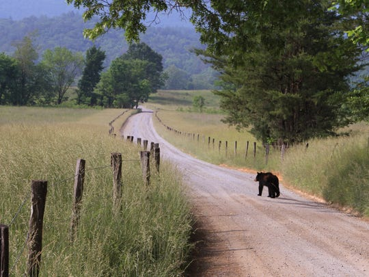 Bear walking down Hyatt Lane, May 2014.