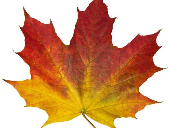 Autumn maple red leaf