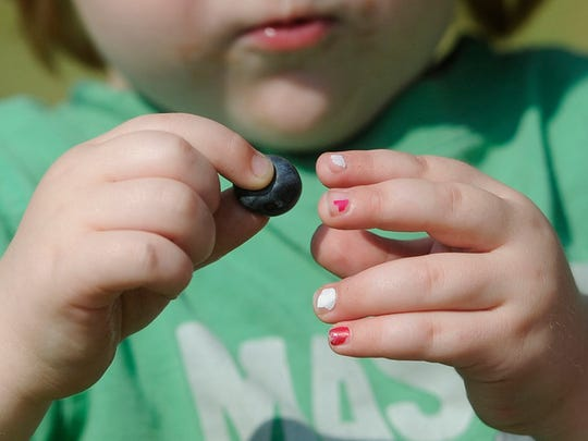 """""""Brisbane Hart, 2, of Springettsbury Township gets a squeeze out of a blueberry as he and his family pick them at Raven's Chestnut Sands Farm in Conewago Township on Friday, July 3, 2015.   Jason Plotkin - Daily Record/Sunday News"""""""