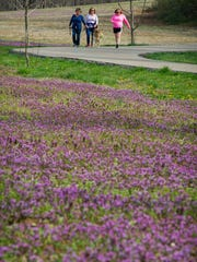 Jenny Redman, from left, walks with her three-year-old Golden Retriever, Sandy, and friends, Cathy Meyer and Angie Paul, all of Evansville, next to a corn field filled with Purple deadnettle and henbit flowers on the USI-Burdette Park Trail in Evansville, Wednesday, March 29, 2017. The flowers are a sign of Evansville's warm winter and early spring.