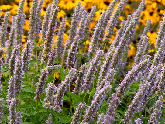'Blue Fortune' anise hyssop is a plant loved by bees