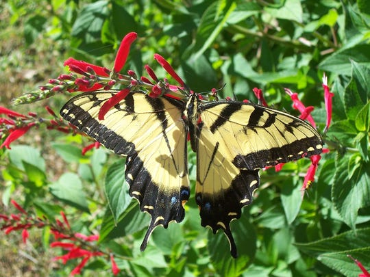 Pineapple sage with swallowtail