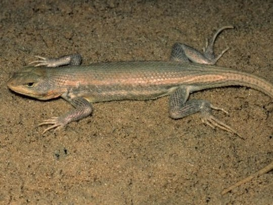 The dunes sagebrush lizard can be observed only in the Monahans Sandhills region of West Texas.