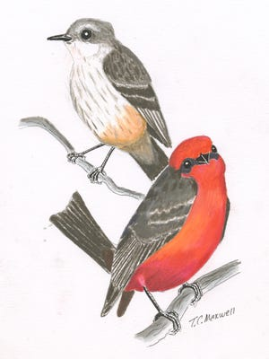 The hunting technique of vermilion flycatchers is to sit and wait on a perch from which it flies out in pursuit of prey.