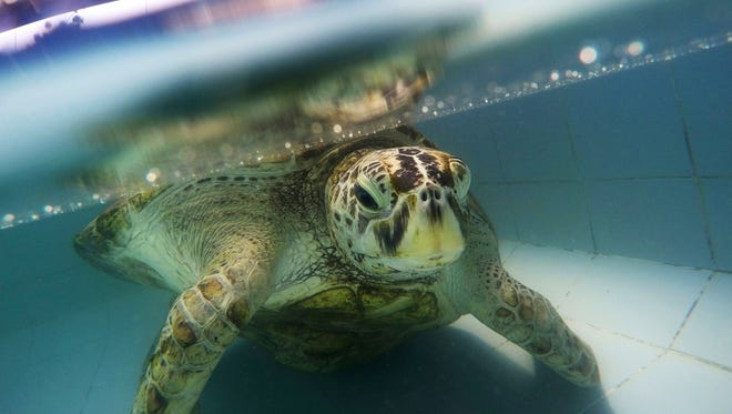 """In this Friday, March 3, 2017 photo, the female green green turtle nicknamed """"Bank"""" swims in a pool at Sea Turtle Conservation Center n Chonburi Province, Thailand."""