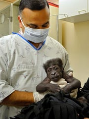In this Sept. 23, 21014 photo provided by the Cincinnati Zoo, Dr. Srikant Iyer, from Cincinnati Children's Hospital, examines Kamina, a baby Lowland gorilla, in Cincinnati. The Cincinnati Zoo adopted Kamina, born Aug. 16, 2014, from the Oklahoma City Zoo, after her mother shunned her and the Oklahoma zoo had no adult female gorilla to adopt and raise her. (AP Photo/Cincinnati Zoo, Michelle Curley)