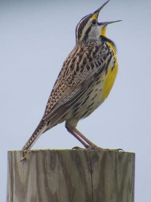 An eastern meadowlark sings from a fence post near the Long Arm Reservoir, south of Hanover.
