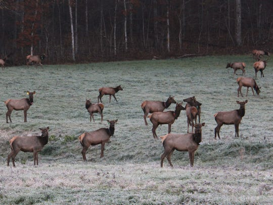 The Conservation Department reintroduced elk to Missouri's Peck Ranch in southeast Missouri in 2011. The herd now is about 170 strong, excluding this spring's crop of calves..