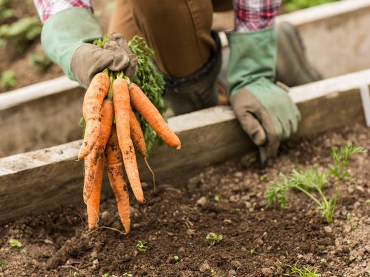 Man pulling carrots from the earth