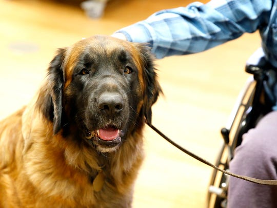 Ripley, a Leonberger dog, visits with residents at Seneca View in Montour Falls on Friday.