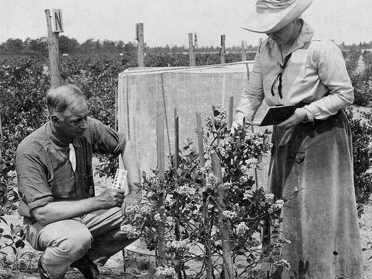 Frederick Coville and Elizabeth White worked together to cultivate the wild blueberry bushes found around White's farm in Browns Mills.