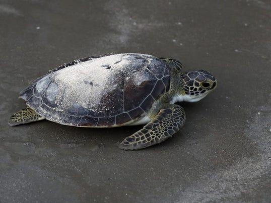 636424072583313420-turtle.jpeg