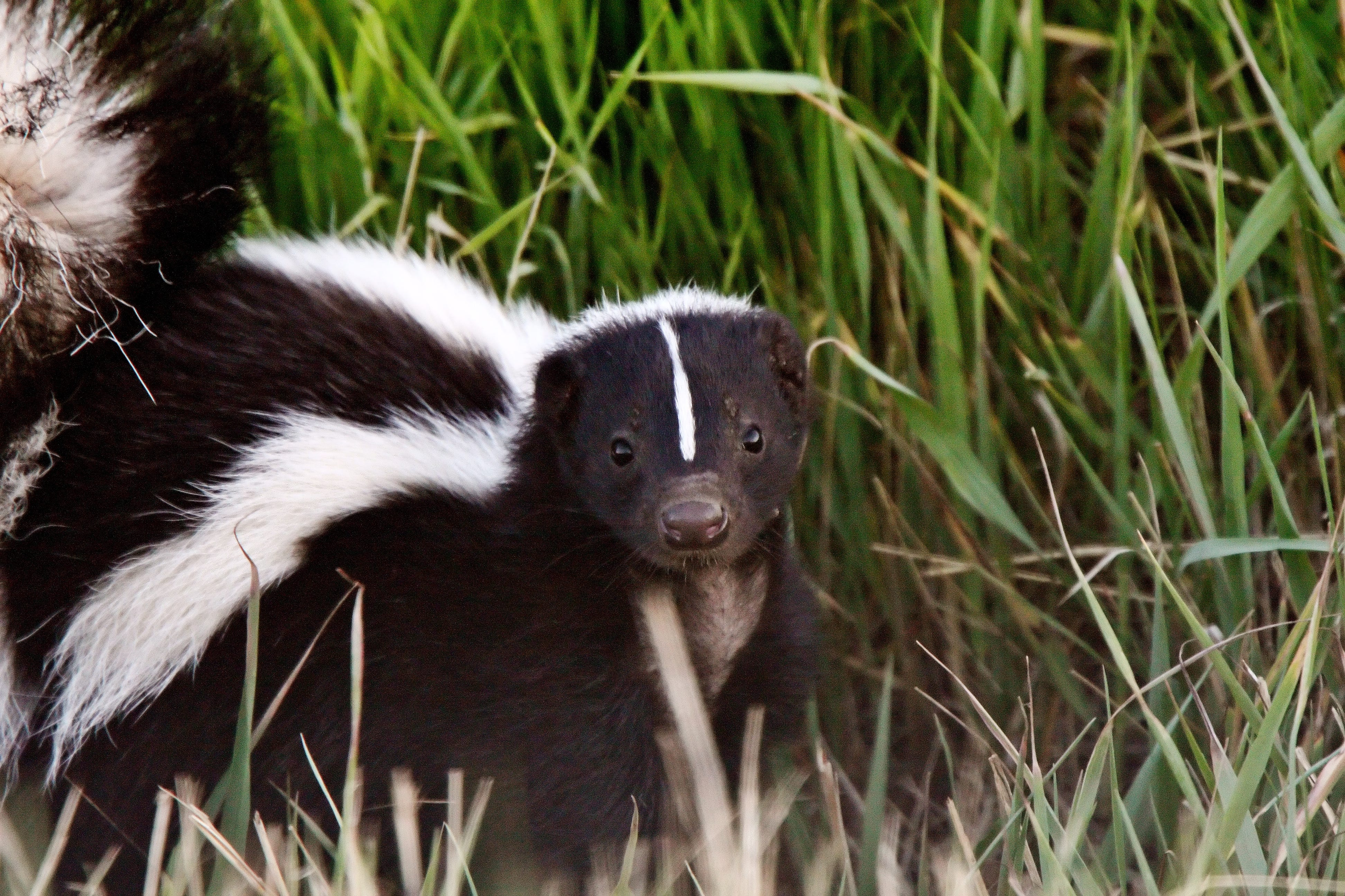 Forum on this topic: How to Get Rid of Skunks, how-to-get-rid-of-skunks/