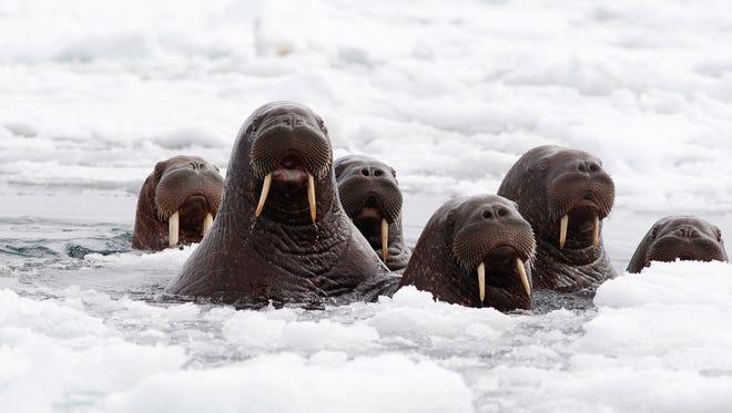 Pacific walruses in the Chukchi Sea off the coast of Alaska in June.