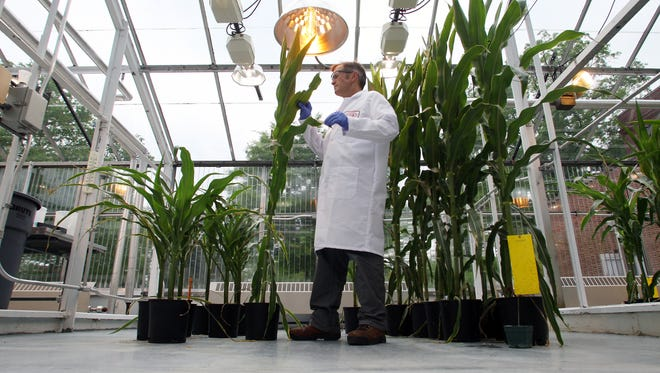 Greenhouse manager, Tom Taylor, inspects corn plants before sampling at the DuPont Experimental Station in Wilmington in 2008.  Researchers are studying how to genetically engineer corn and soybeans to tolerate agricultural chemicals, boost production and resist diseases and insects.