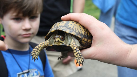 A visitor to the North Carolina Arboretum checks out a box turtle at a past Box Turtle Day.