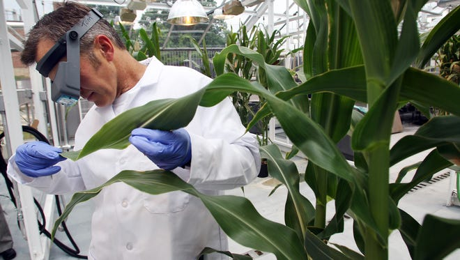 Corn plants are examined at the DuPont Experimental Station near Wilmington. Three agriculture groups allege DuPont's proposed merger with Dow will reduce competition.